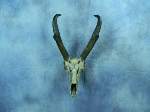 Custom antelope European skull mount; Western South Dakota