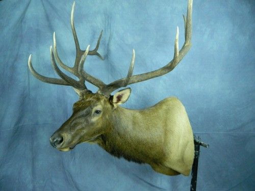 Elk shoulder mount; Black Hills, South Dakota
