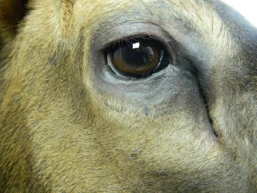 Elk shoulder mount - eye; Aberdeen, South Dakota