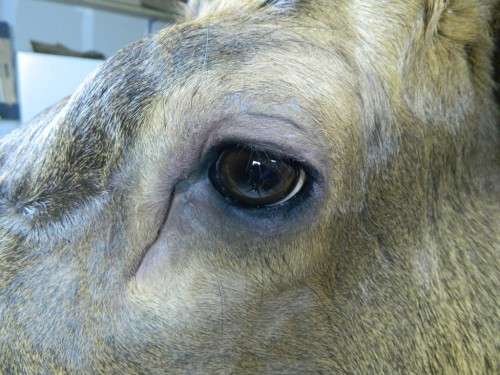 Elk shoulder mount - eye closeup; Sturgis, South Dakota