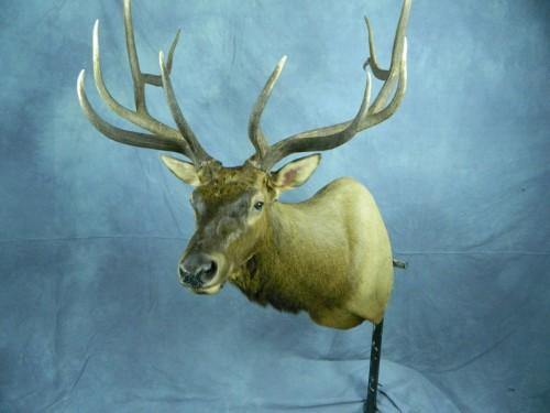 Elk shoulder mount; Sturgis, South Dakota