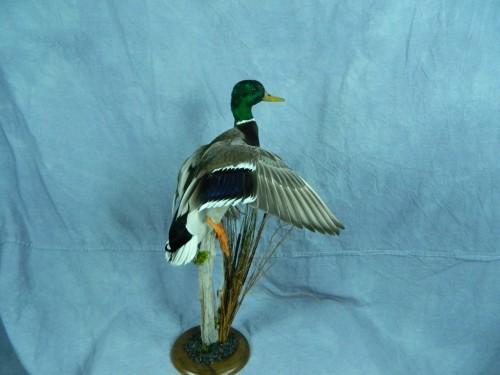 Flushing mallard duck mount; Aberdeen, South Dakota