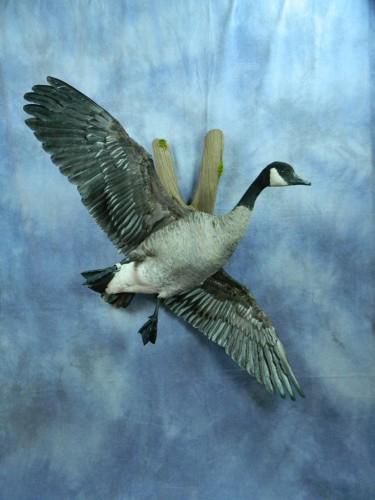Flying Canada goose mount; Ipswich, South Dakota