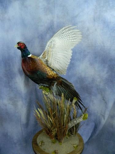 Flushing pheasant mount; Huron, South Dakota