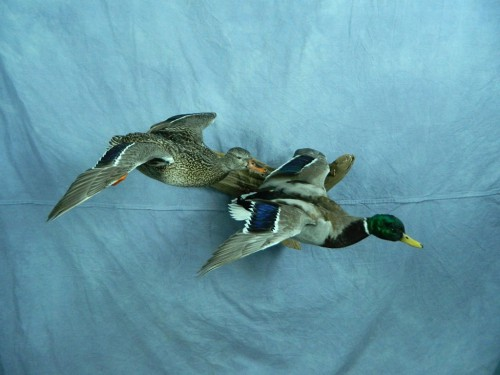 Flying mallard pair duck mount; Redfield, South Dakota