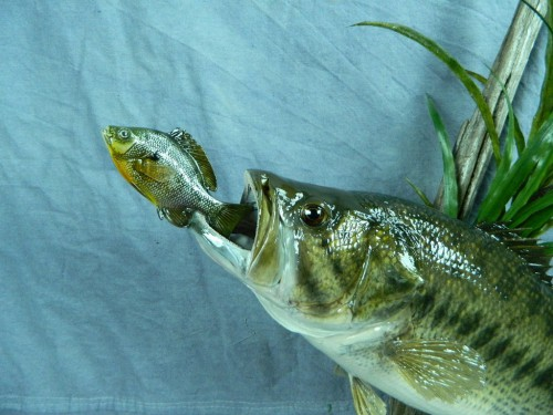Largemouth bass chasing fish mount - detail; Aberdeen, South Dakota