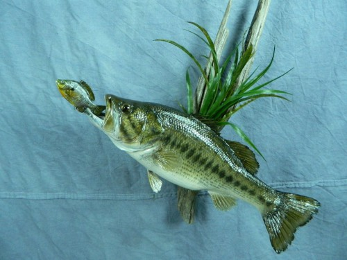 Largemouth bass fish skin mount; Aberdeen, South Dakota