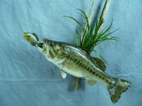 Largemouth bass fish skin mount; Aberdeen, South Dakota