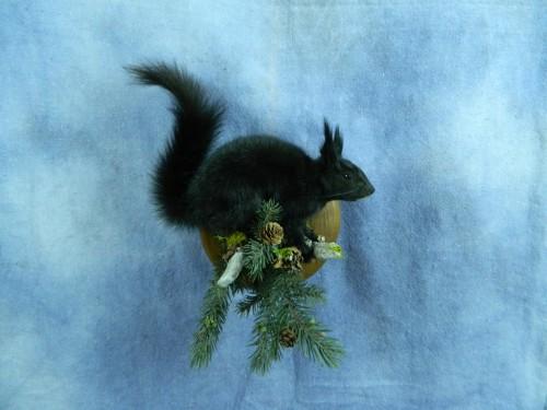 Abert's squirrel mount; Denver, Colorado