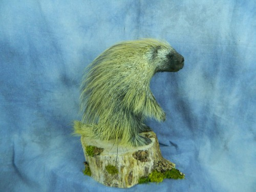 Porcupine life size mount; Rapid City, South Dakota