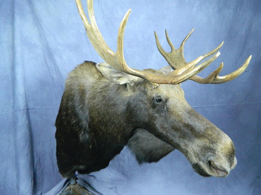showpiece taxidermy south dakota elk u0026 moose mounts