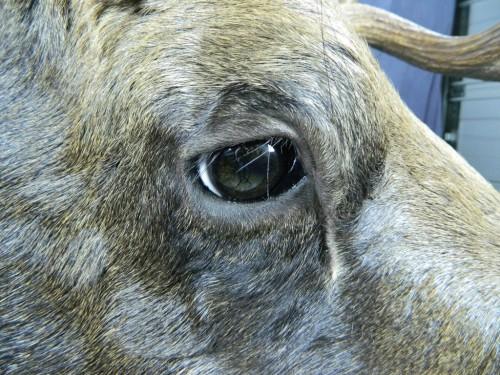 Moose shoulder mount - eye closeup; Alaska