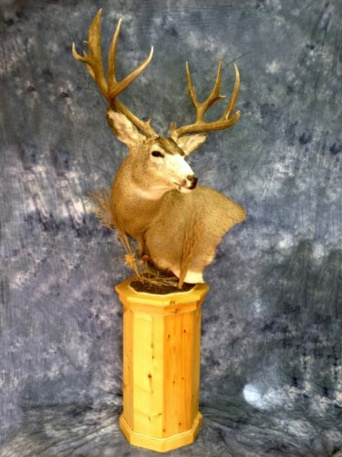Mule deer pedestal mount; Aberdeen, South Dakota