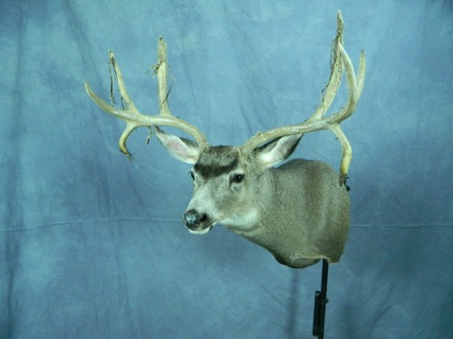 Mule deer shoulder mount; Aberdeen, South Dakota
