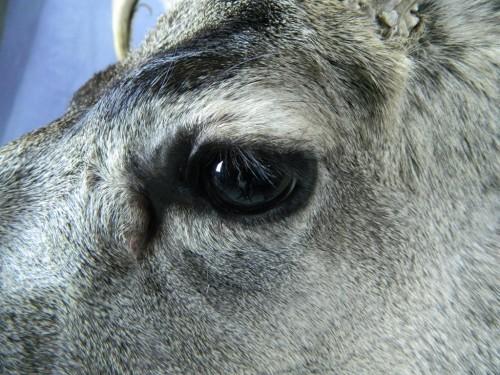 Mule deer shoulder mount - eye; Aberdeen, South Dakota