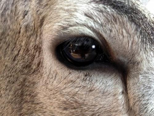 Mule deer shoulder mount - eye view; Aberdeen, South Dakota