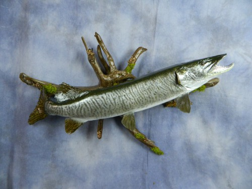 Muskie / muskellunge fish skin mount; Aberdeen, South Dakota