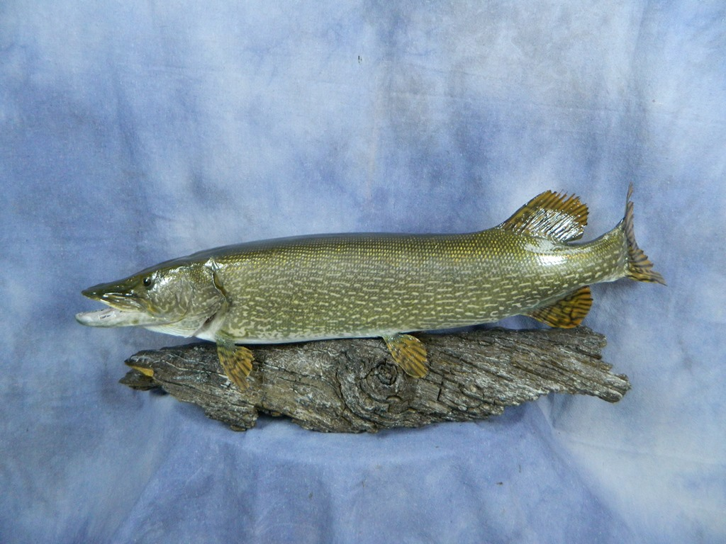 Showpiece Taxidermy: Fish, Walleye, Trout, & Crappie Mounts