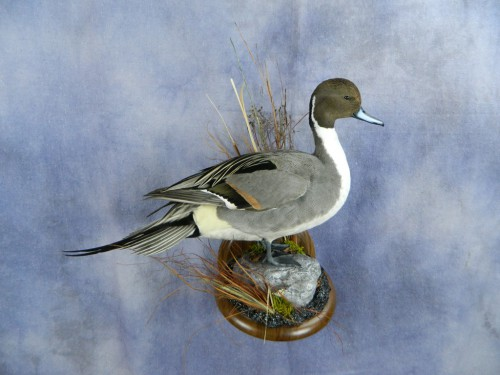 Northern pintail duck mount; Aberdeen, South Dakota