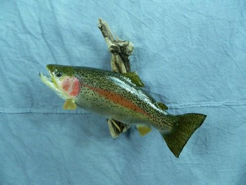 Rainbow trout fish skin mount; Rapid City, South Dakota
