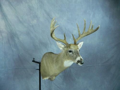 White tailed deer shoulder mount; Eastern South Dakota