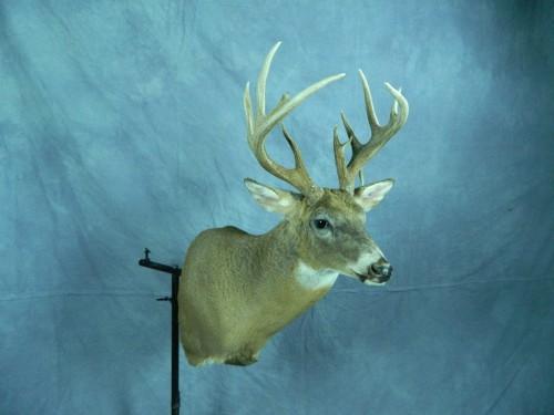 White tailed deer shoulder mount; Redfield, South Dakota
