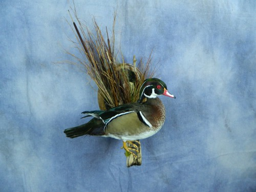 Wood duck wall mount; Warner, South Dakota