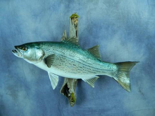 Wiper bass fish skin mount; Fort Collins, Colorado