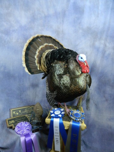 Wild turkey taxidermy mount; State award-winner in Nebraska
