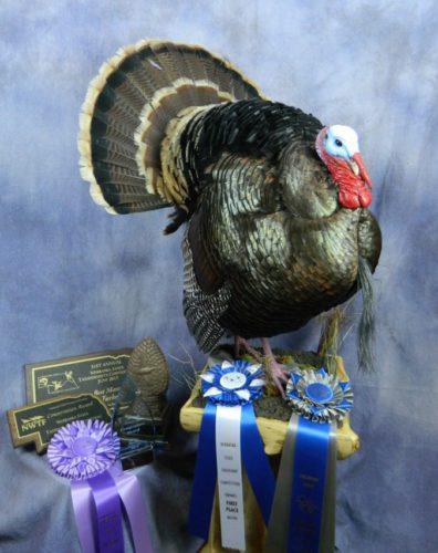 Wild turkey taxidermy mount; State award-winner in Nebraska