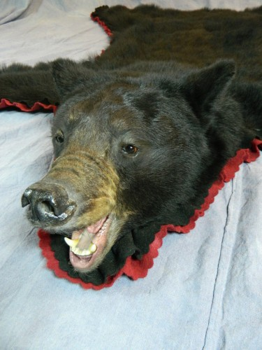 Snarling black bear taxidermy rug mount; Manitoba, Canada