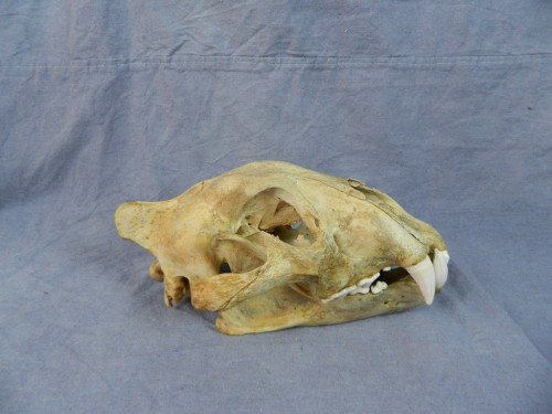 African lion skull taxidermy mount; South Africa