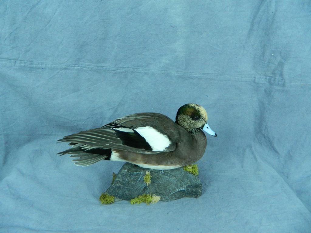 Showpiece Taxidermy Wood Duck Mallard And Pintail Mounts