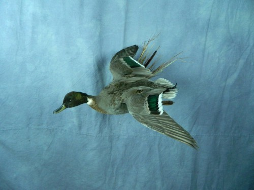 Northern pintail X mallard duck mount; Aberdeen, South Dakota