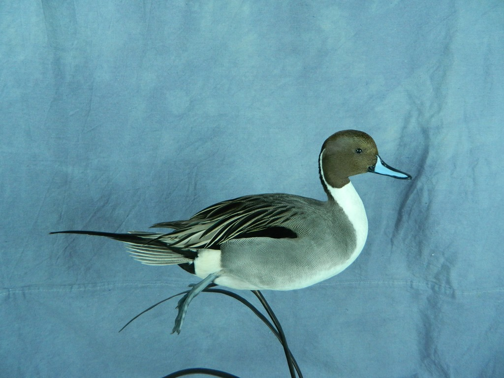 Northern pintail mount - photo#46