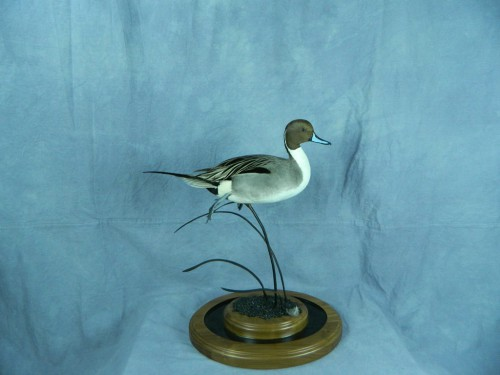 Northern pintail duck mount; Montrose, Colorado
