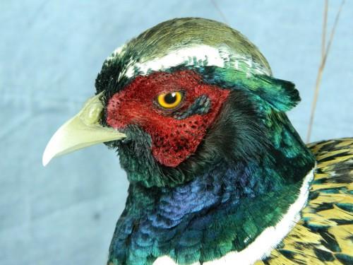 Pheasant taxidermy mount; Groton, South Dakota