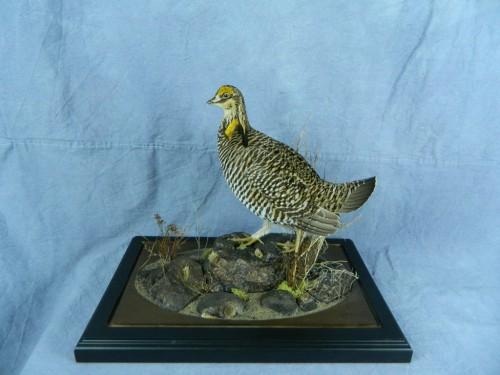 Prairie chicken taxidermy mount; South Dakota