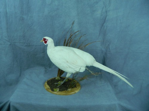 White pheasant taxidermy mount; Aberdeen, South Dakota