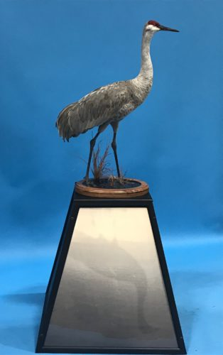 Sandhill Crane Mount Best In World