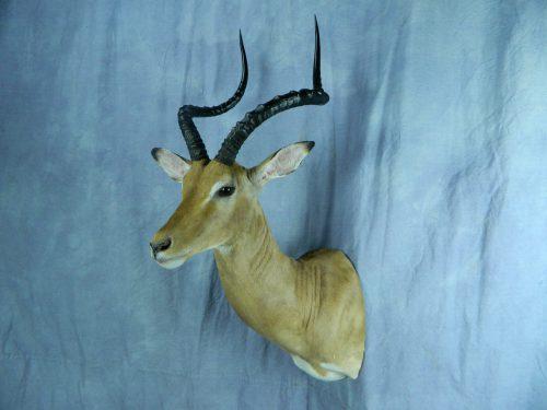 African impala shoulder mount; South Africa