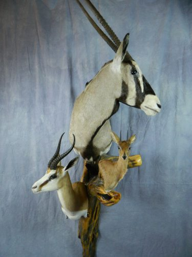 African shoulder taxidermy mount trio; South Africa