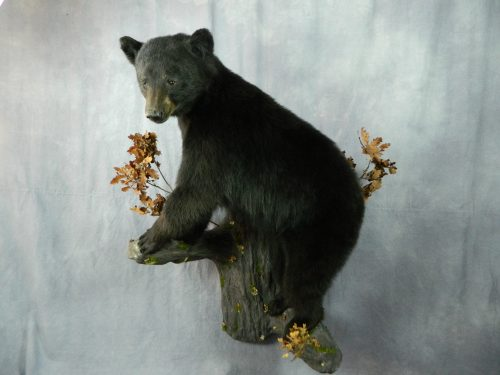 Black bear taxidermy wall mount; Manitoba, Canada