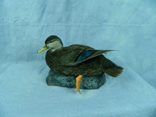 Black duck table top mount; Boston, MA