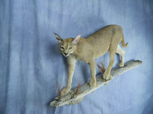 Caracal walking lifesize mount; South Africa