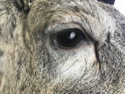 White tailed deer mount (eye closeup); Groton, SD