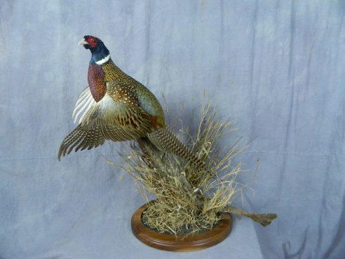 Flushing ringneck pheasant tabletop mount; Aberdeen, South Dakota
