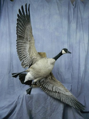 Flying Canada goose wall mount; Martin, SD