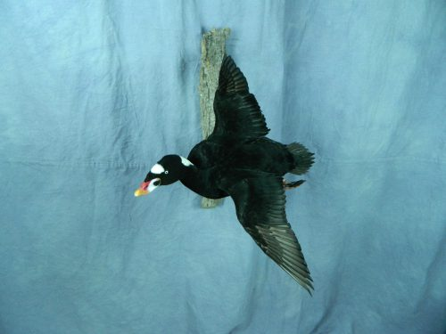 Flying surf scoter taxidermy mount; Long Island, NY