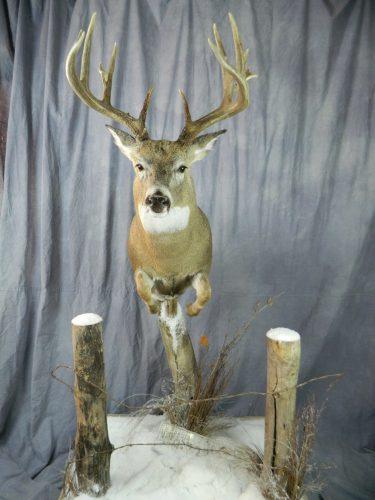 Half life size white tailed deer mount; Groton, SD